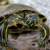 Красноухая черепаха ?, в Костроме