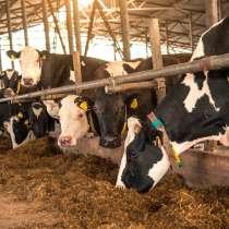 В продаже молочные нетели Черно-пестрой породы, в Воронеже