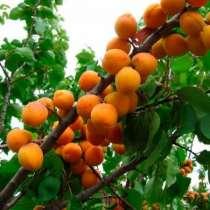 Плодовые деревья и крупномеры, в Воскресенске