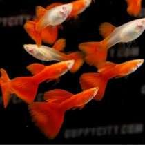 Рыбки оптом и в розницу, отправка, в Аксае