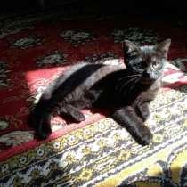 Продам котёнка девочку шотландская прямоухая, в г.Кривой Рог