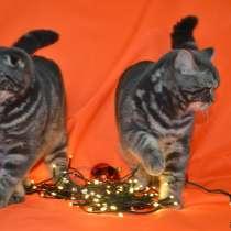 Scottish Fold/Straight котята с родословной, в г.Лейпциг