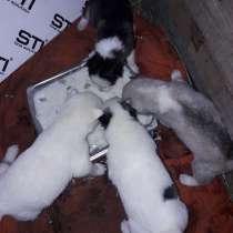 Продаю щенков хаски от белого самца 5 т. р. 2 дев. 2 мал, в Суворове