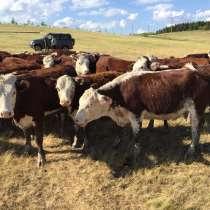 Телки породы казахская белоголовая, в Челябинске