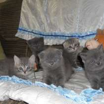 Шотландские котята, в Челябинске