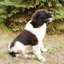 Продается щенок ньюфаундленда, в г.Запорожье