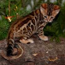 Бенгальская кошка для Вас!, в Калининграде