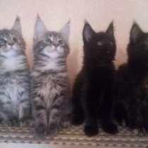 Котята породы Мейн-кун, в Омске