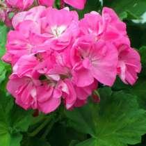 Цветок герани, в Волоколамске