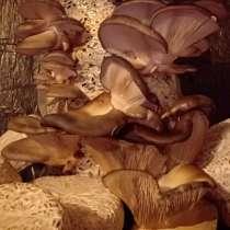 Мицелий семена грибов вешенки штамм КЧ 1000 тг 1кг, в г.Актобе