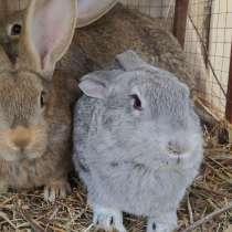 Продам кроликов породы Фландер, в г.Риддер