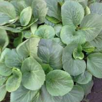 Неприхотливое растение Бадан. для сада, в Челябинске