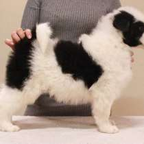 Срочно продается щенок якутской лайки!, в Якутске