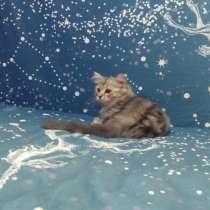 Шотландские котята, в Темрюке