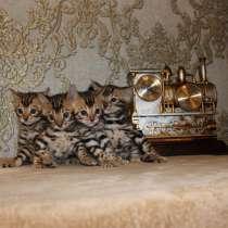 Бенгальские котята, в Ижевске
