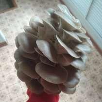 Продаю грибы вешенка, в Краснодаре