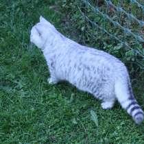 Шикарный серебритсый котик, в Москве