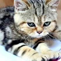 Шотландский котик мрамор на золоте, в г.Комрат