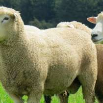 Племенные овцы Ромни-марш (Скот из Европы), в Красноярске