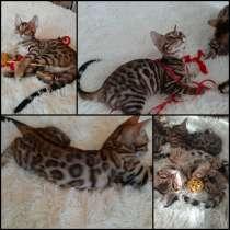 Чистокровные бенгальские котята, в г.Витебск