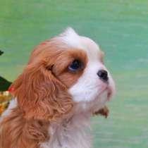 Кавалер Кинг Чарльз щенки 2 месяца, в Москве