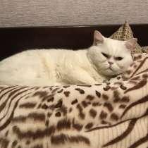 Кот порода экзот 5 лет, кастрирован. Ищет новых хозяев, в Балашихе