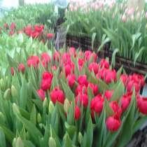 Продам тюльпаны, в Лиски