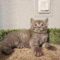 Плюшевый шотландский котенок Иржик редкого окраса цинаион, в Всеволожске