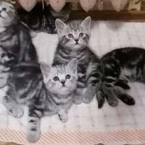 Миленькие котятки шотландские, в Казани