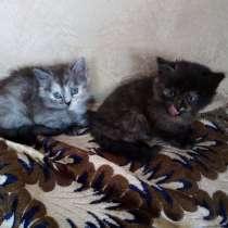 Ангоро-персидские котята, в г.Могилёв