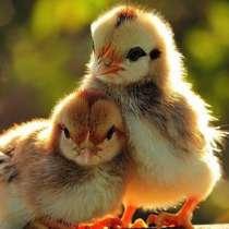 Домашняя птица. Цыплята, Утята, Цесарята, Гусята, Индюшата, в Краснодаре