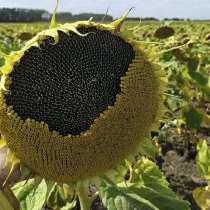 Семена подсолнечника масленичного НАТАЛИ, в Миллерово
