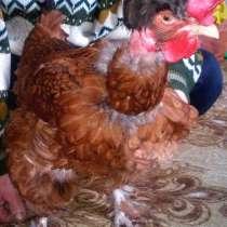 Цыплята суточные. Услуги инкубации с перерасчетом, в Нижнегорском