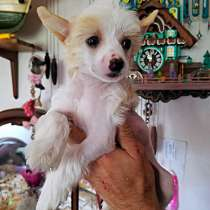 Щенки Китайской Хохлатой собачки!, в г.Тель-Авив