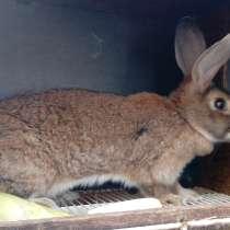 Кролики, Фландр, Советская Шиншилла, в Омске