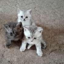 Шотландские котята.1500 рублей, в Гусеве