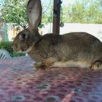 Продам кроликов породы фландр, в г.Алматы