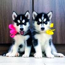 Красивые черно-белые щеночки хаски, в Батайске