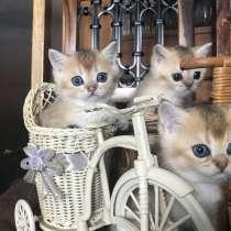 Золотые британские котики, в Москве