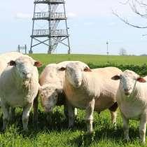 Племенные овцы Иль де Франс (Скот из Европы класса Элита), в г.Ереван