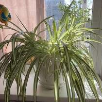 Комнатное растение Хлорофитум, в Новосибирске