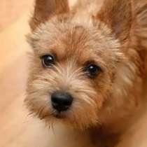 Купим щенка норвич терьера, недорого, без документов, в Екатеринбурге