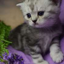 Шотландские котята с родословной, в г.Лимасол