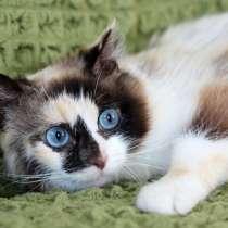 Котенок голубоглазка Тереза в добрые руки, в Москве