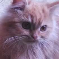 Добрейший милейший котенок-перс, в Нижнем Новгороде