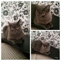 Отдам кошку, домашняя, порода британской, в Смоленске