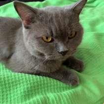 Нашли британскую домашнюю кошку, в Краснодаре