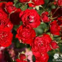 Роза плетистая, Клематис, в Великих Луках