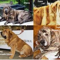 Продам щенков испанского мастифа, в Железнодорожном