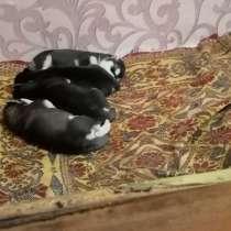 Щенки хаски, в Рославле
